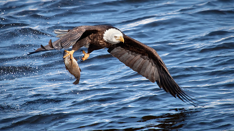 A Bald Eagle with its catch (Credit: Shutterstock)