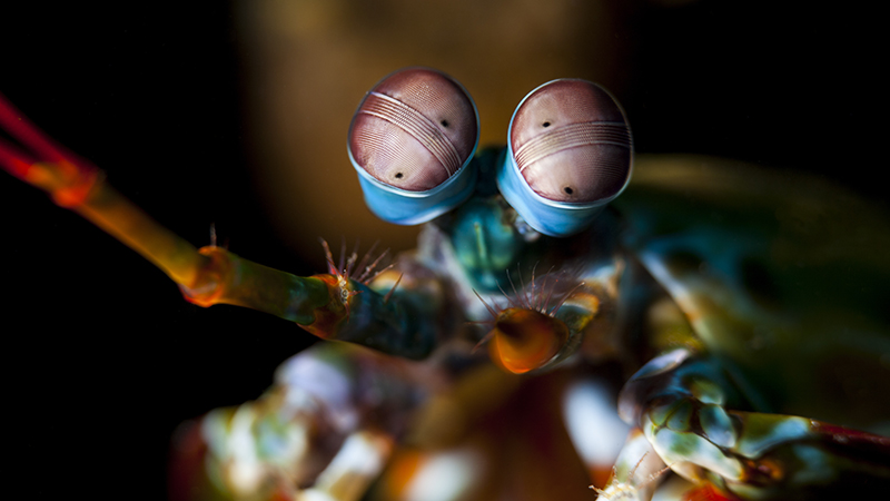 Odontodactylus scyllarus, known as the peacock mantis shrimp, harlequin mantis shrimp, painted mantis shrimp or clown mantis shrimp (Credit: Shutterstock)