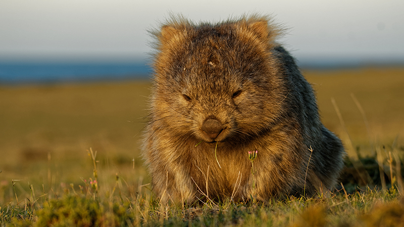 Engineer solves mystery of cubic wombat faeces to inform manufacturing processes Image